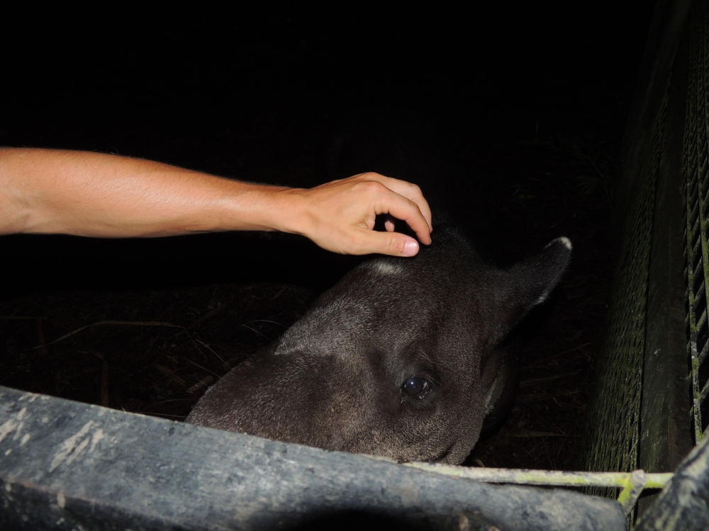 Central American Tapir - an endangered species... one that likes to be pet while munching on carrots.